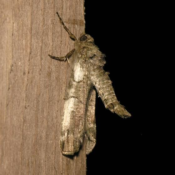 Moth - Ceratonyx permagnaria