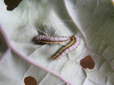 Caterpillars on kale - Evergestis rimosalis