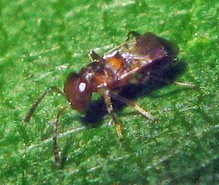 Tiny Wasp - Encyrtus