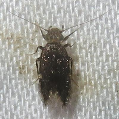 Insect - Echmepteryx hageni