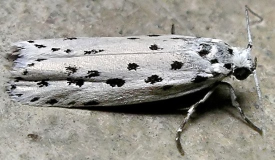 moth - Ethmia apicipunctella