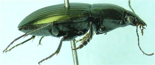 Stenocrepis 02 - Stenocrepis mexicana - male
