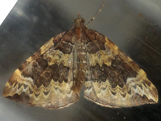 Geometrid Moth - Eulithis destinata