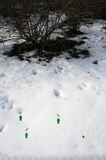 Winter cutworms on snow - Noctua pronuba