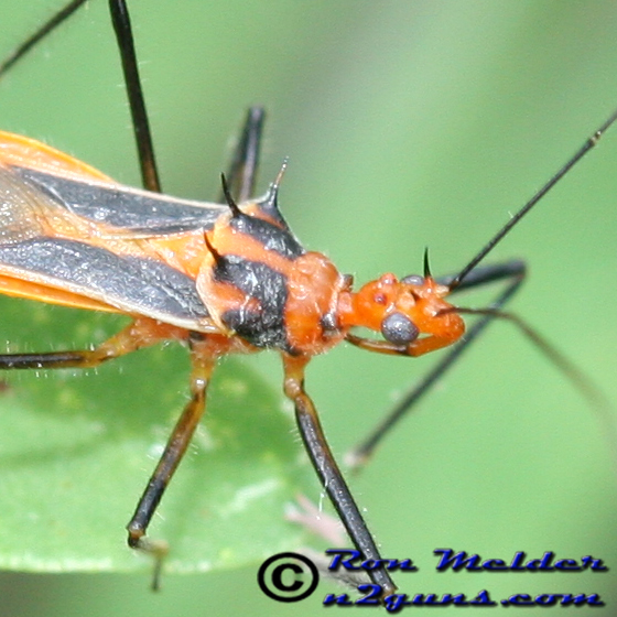 Horned Assassin Bug - Repipta taurus