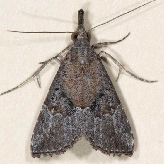 8461 Hop Vine Moth - Hypena humuli