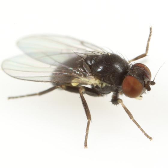 Cerodontha arundinariella - male