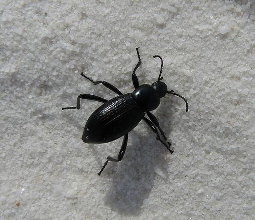 beetle - Eleodes