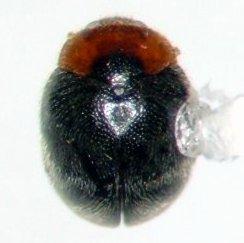 Scymnus socer - female