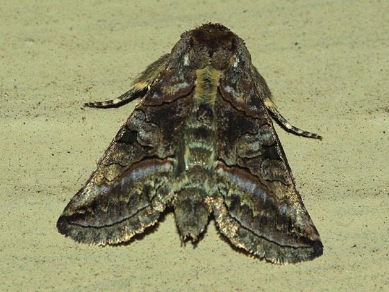 Owlet Moth - Abrostola urentis