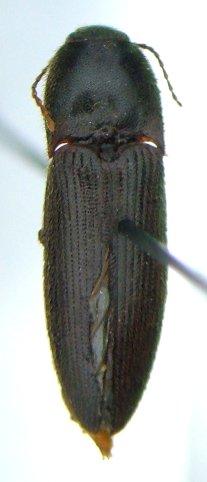 Ampedus melanotoides - male