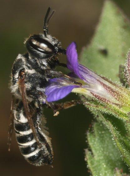 bee 89 - Megachile