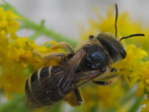 Sweat bee? on goldenrod - Halictus ligatus - female