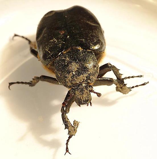 Beetle ID - Osmoderma eremicola