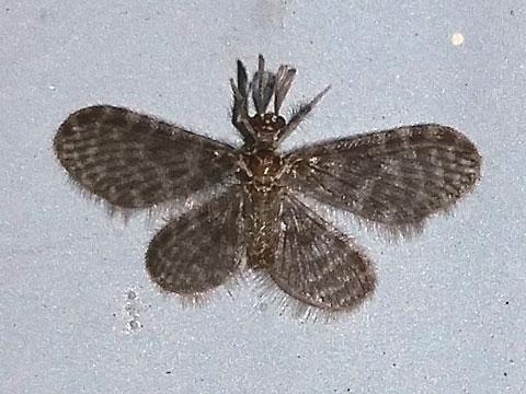 Pleasing Lacewing - Nallachius americanus - male