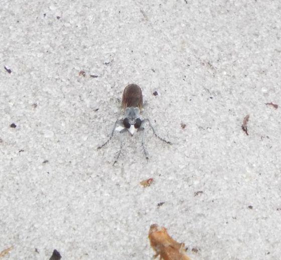 fly - Stichopogon trifasciatus