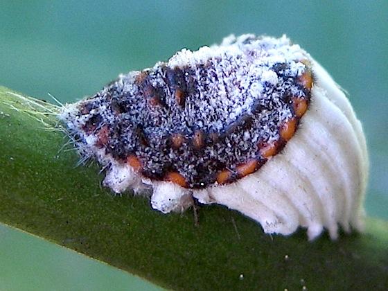 Cottony cushion scale - Icerya purchasi - male - female