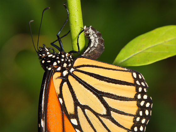 Monarch ovipositing - Danaus plexippus - female