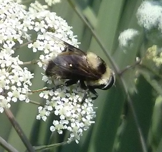 Bee-like Hoverfly - Eristalis flavipes