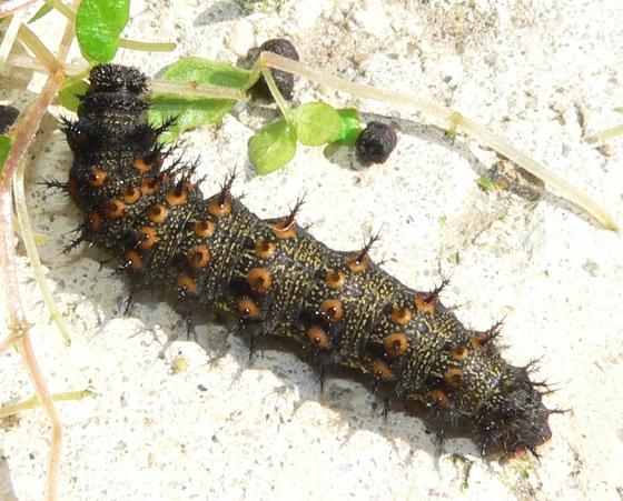 Black spiny caterpillar - Vanessa atalanta