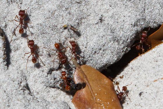 Red Ants - Pogonomyrmex badius