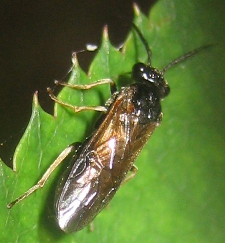 Sawfly on Rose - Cladius difformis
