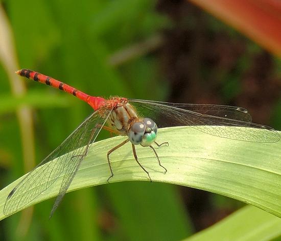 Libellulidae-Sympetrum ambiguum - Blue-faced Meadowhawk-Male - Sympetrum ambiguum - male