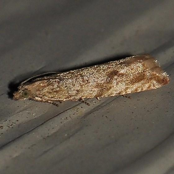 Moth - Bactra furfurana