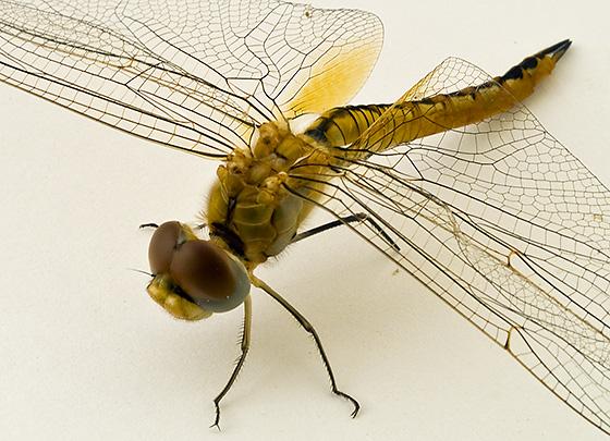 Dragonfly ID - Pantala flavescens