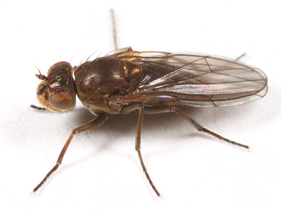 beach fly - Ephydra
