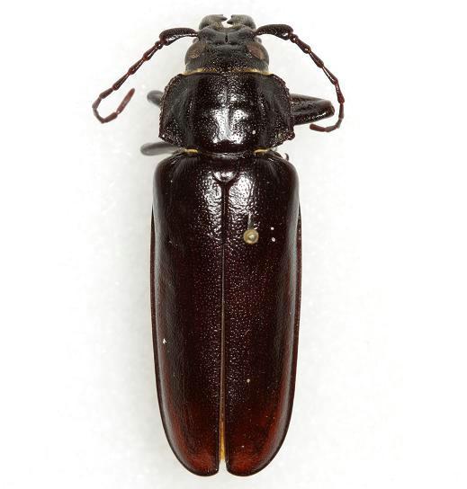 Archodontes melanopus (Linnaeus) - Archodontes melanopus
