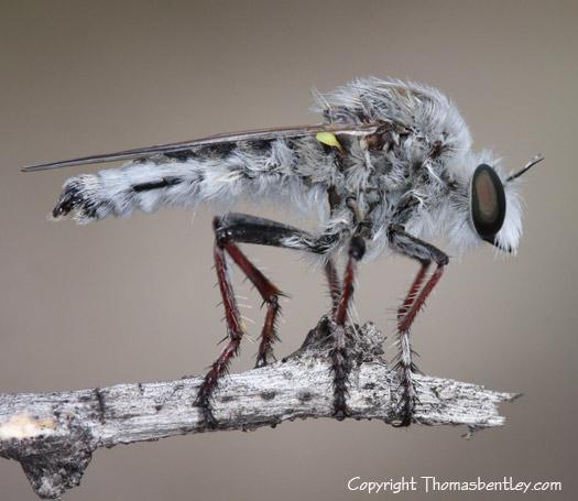 Robberfly - Heteropogon davisi - male