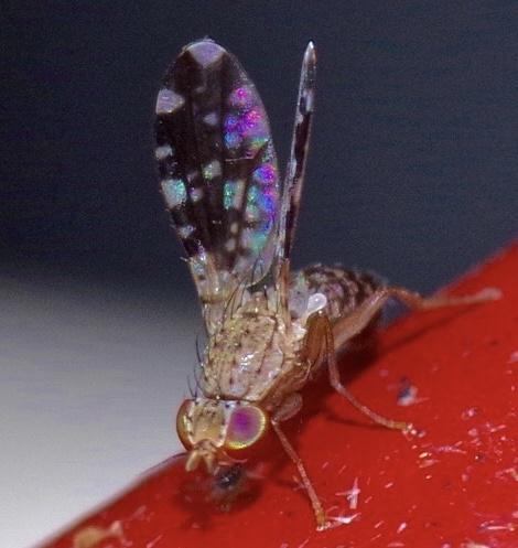 I found this super tiny insect under the night light, next to the pond  - Trixoscelis ornata