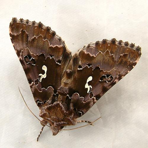 1226 Autographa corusca - Looper Moth 8918 - Autographa corusca