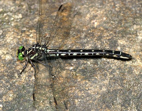 Arrow Clubtail - Stylurus spiniceps - female