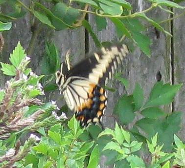 Papilio (?) Swallowtail - Papilio polyxenes - female