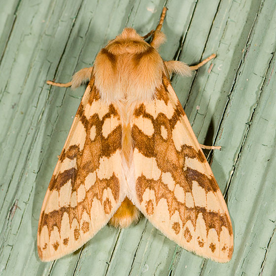 Spotted Tussock Moth - Lophocampa maculata - male