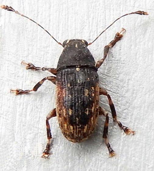 Pennsylvania Beetle for ID - Piesocorynus lateralis