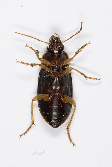 Ground Beetle - Notiobia terminata