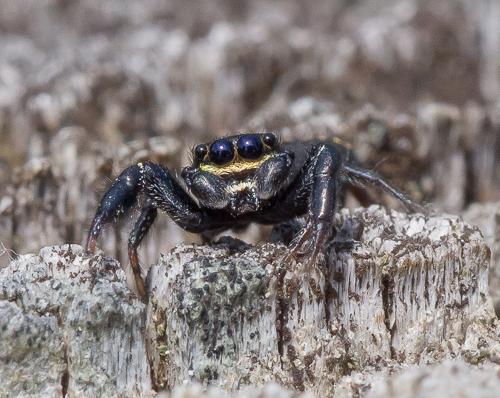 spider - Metacyrba taeniola