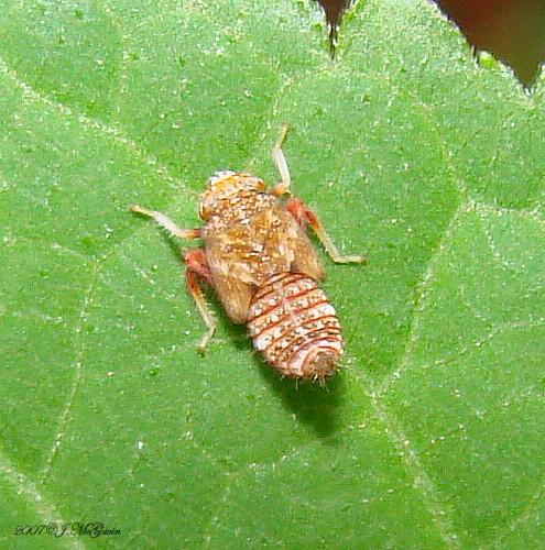 Hopper nymph 24 - Orientus ishidae