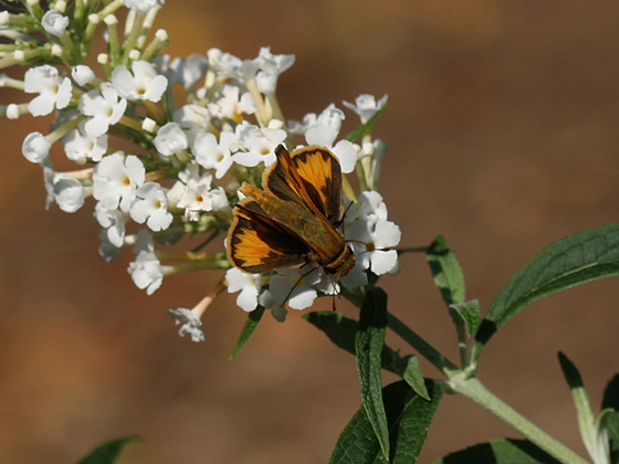 Butterfly ID - Hylephila phyleus