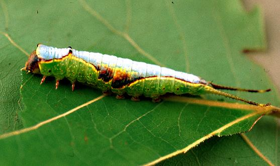 Double-Linded or Western Furcula Moth - Furcula occidentalis