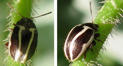 white-striped leaf beetle - Calligrapha bidenticola