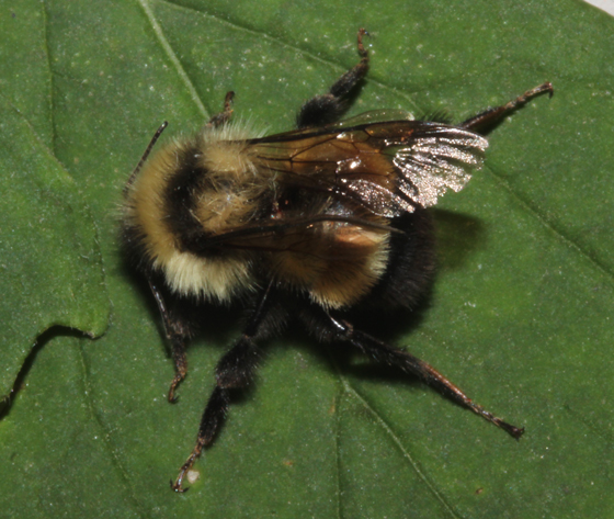 Rusty-patched Bumble Bee, dorsal - Bombus affinis