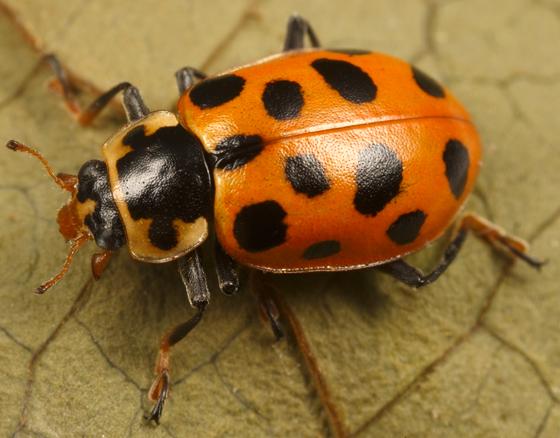 lady beetle - Hippodamia tredecimpunctata