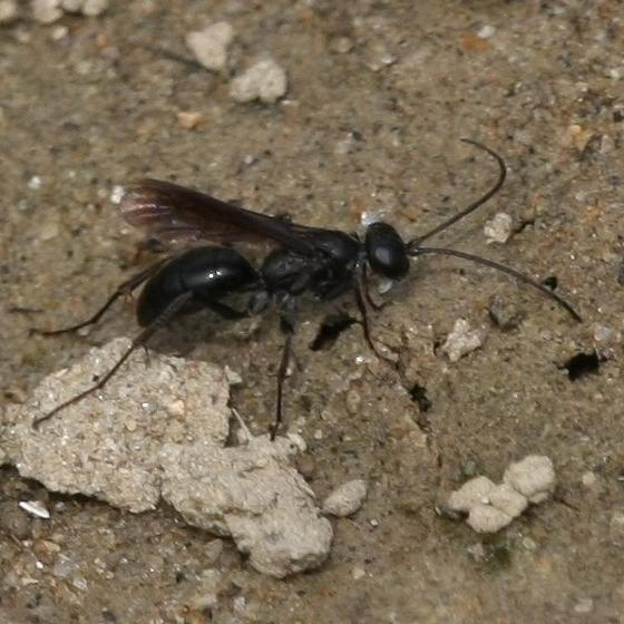 Small dark wasp - Priocnemis cornica