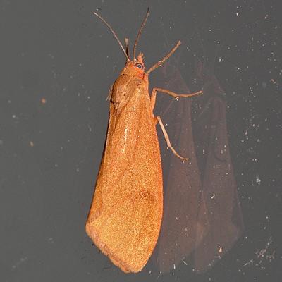 Orange Holomelina Moth - Virbia opella