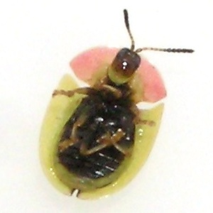 Green and Pink Tortoise Beetle - Cassida relicta