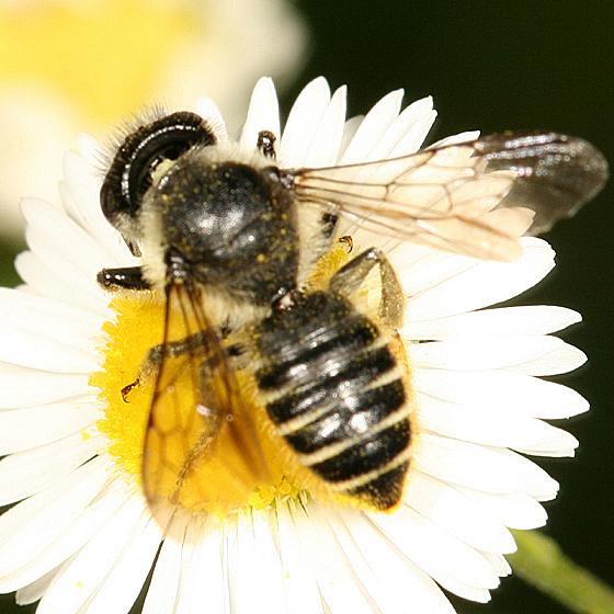 Leaf-cutter bee - Megachile relativa - female